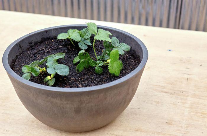 DIY Step Image - How to grow strawberries . Blob storage upload.