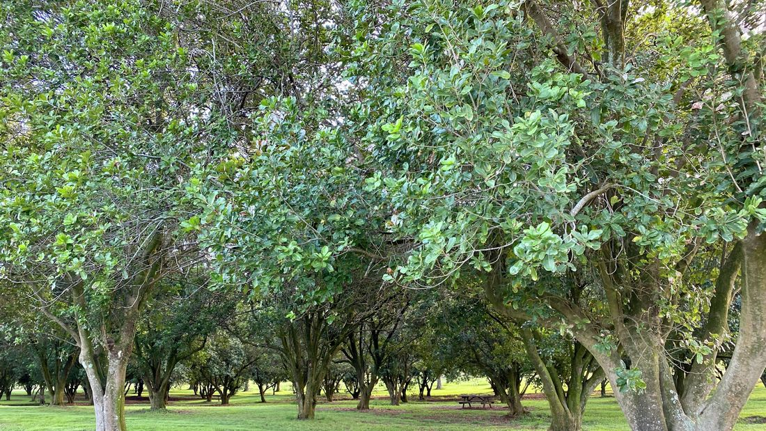 Large macadamia trees in an orchard