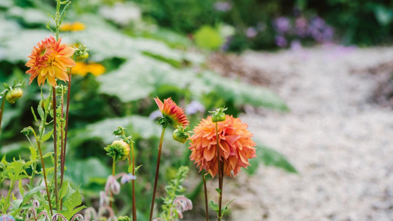Orange flowers blooming along a gravel pathway