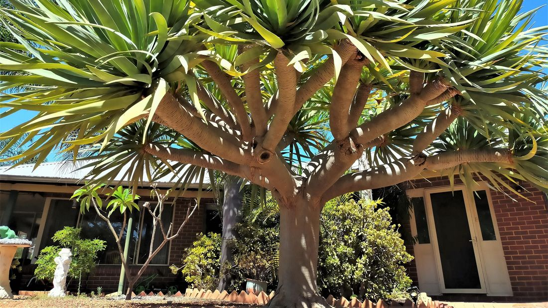 wide angle of a dracena tree in a garden setting