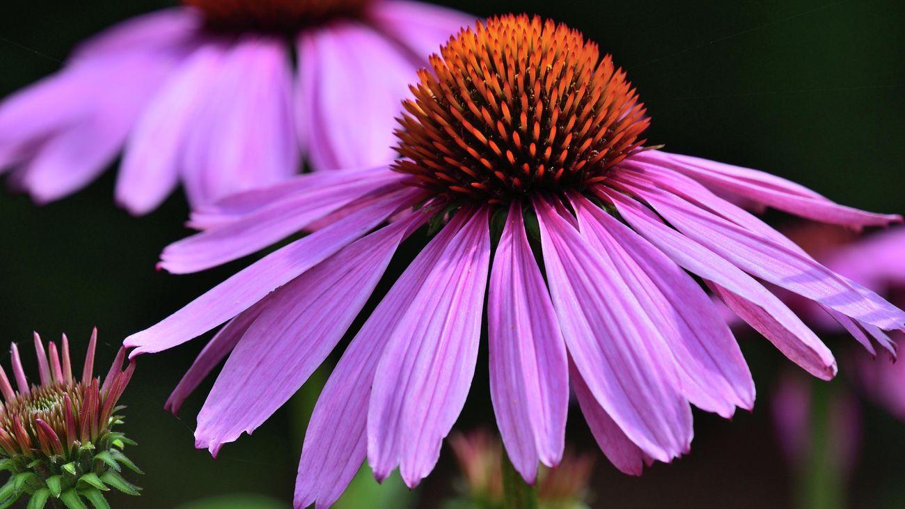 Close-up of purple echinacea flowers