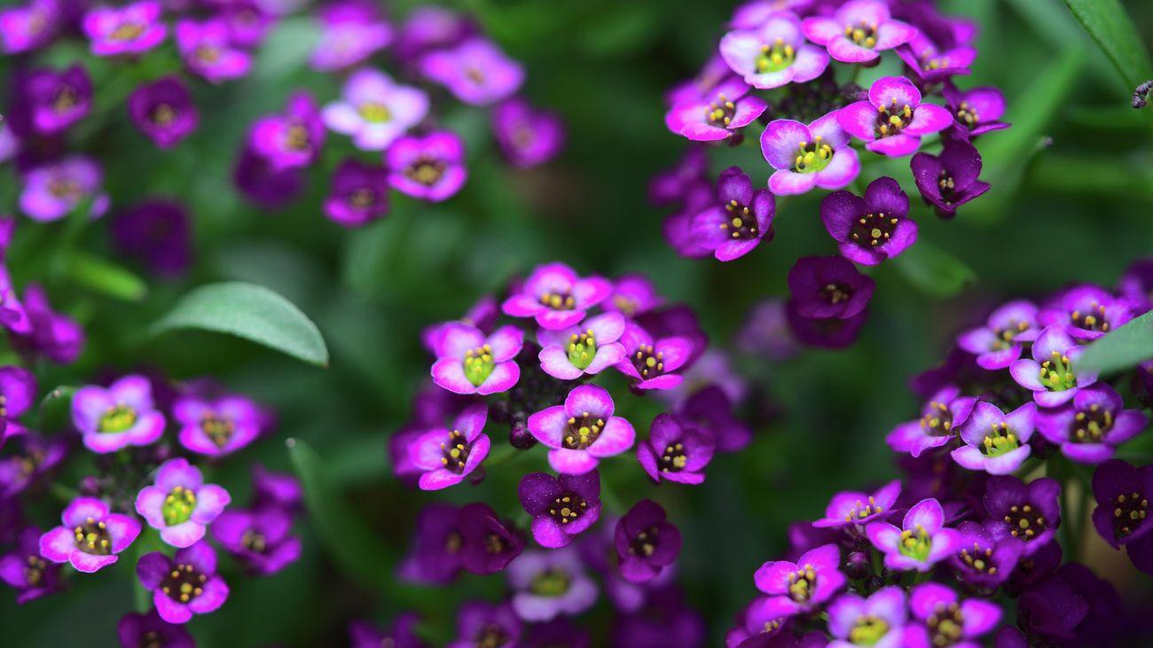 close up of a purple alyssum flower