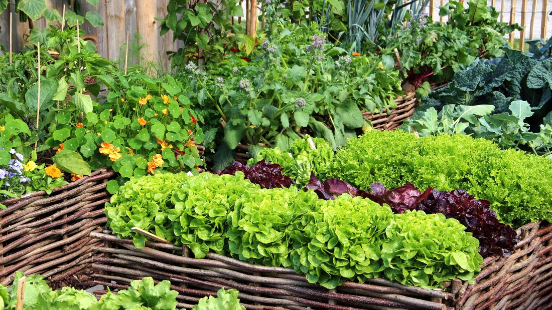 Vegetables and flowers growing in garden beds with woven stick fences