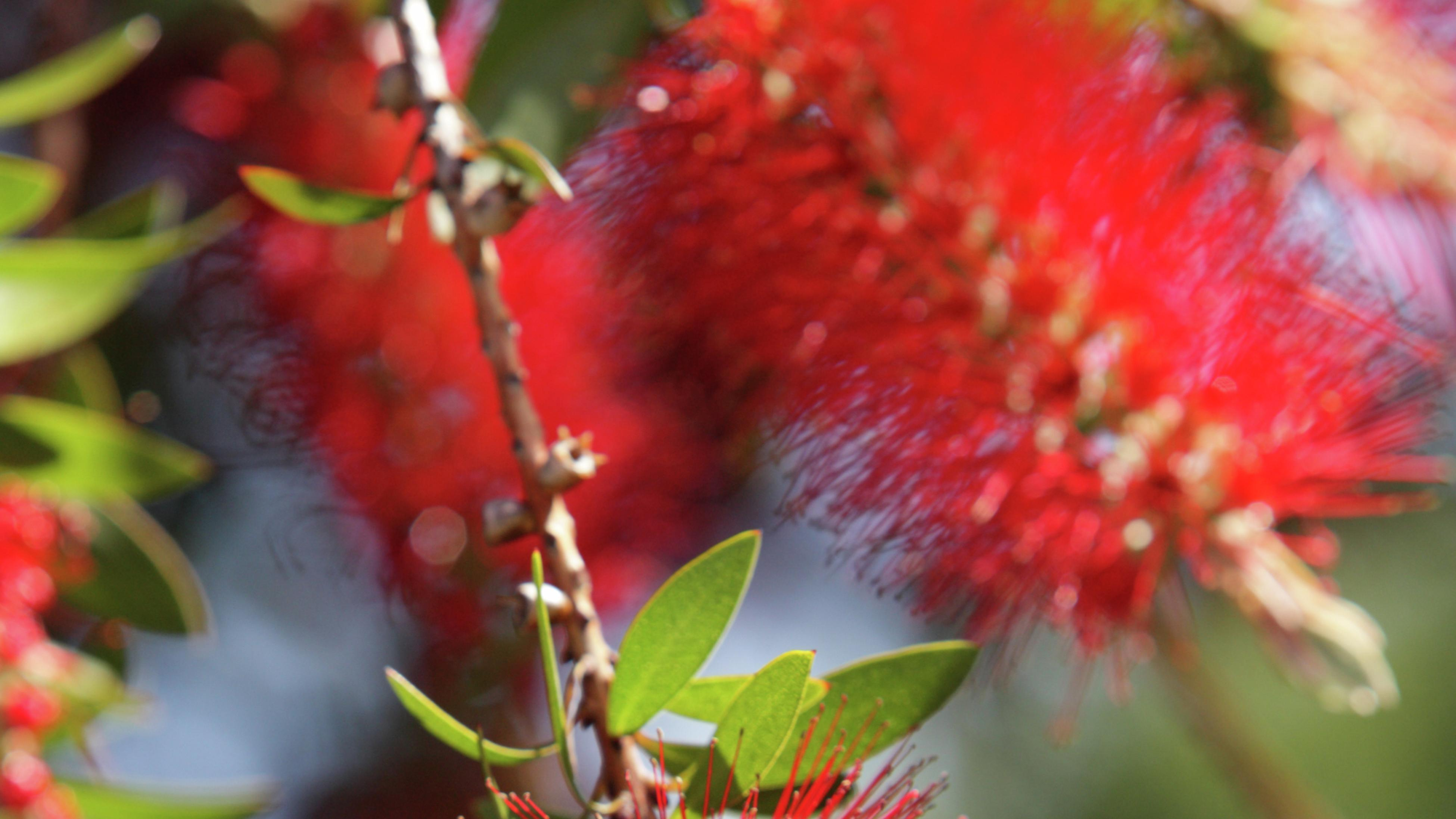 close up shot of a bottlebrush with its red stems