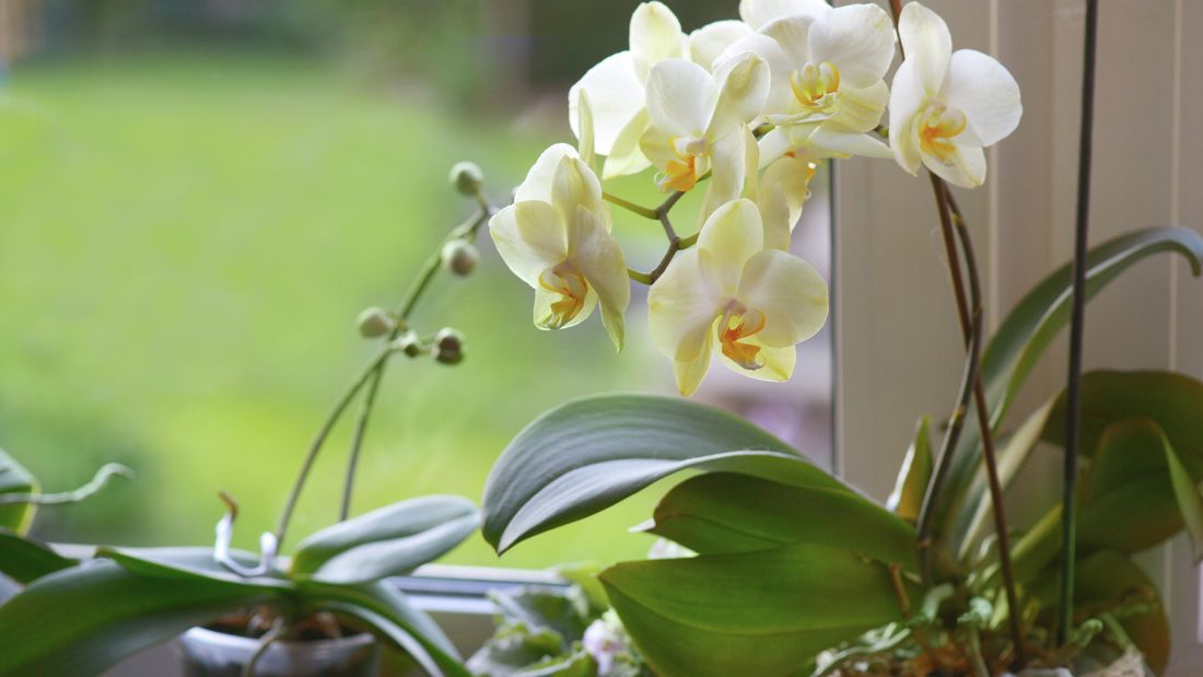 White orchid in flower.