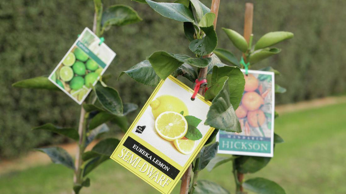 Eureka Lemon Semi Dwarf tree.