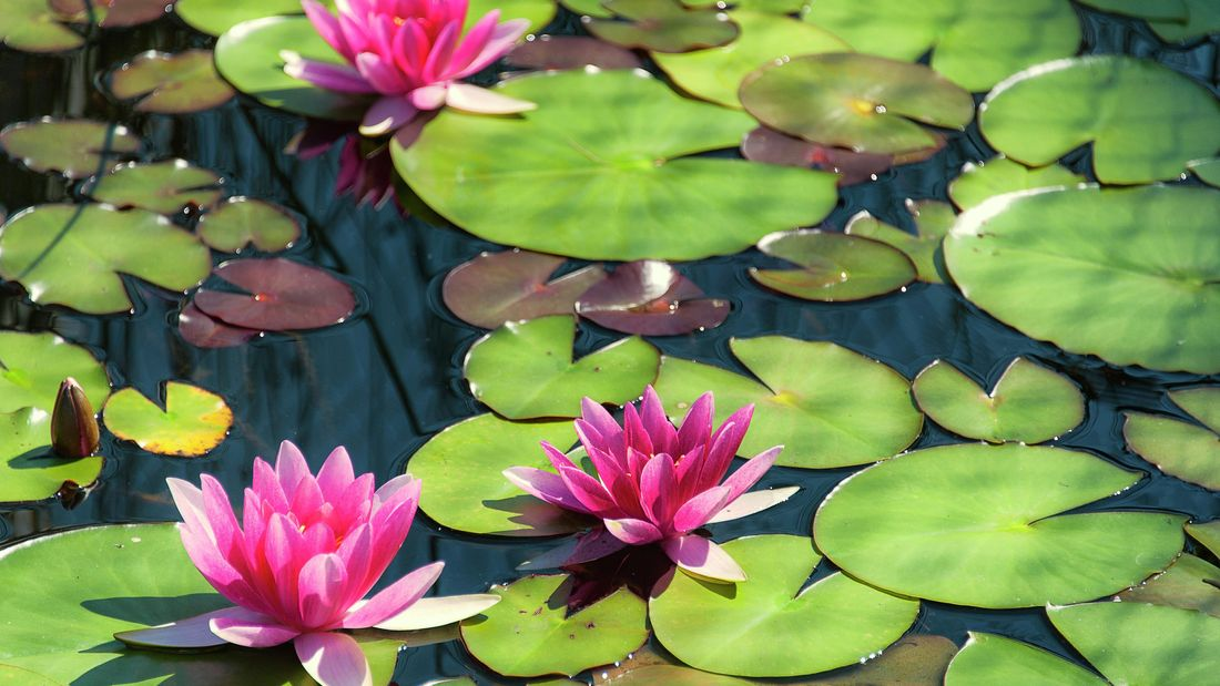 Three pink water lilies in a pond
