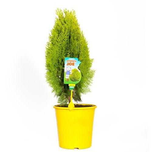 200mm Stumpy Joe Conifer - Thuja orientalus aurea nana