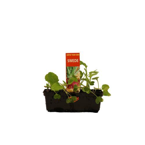 Punnet Swede - Brassica napobrassica