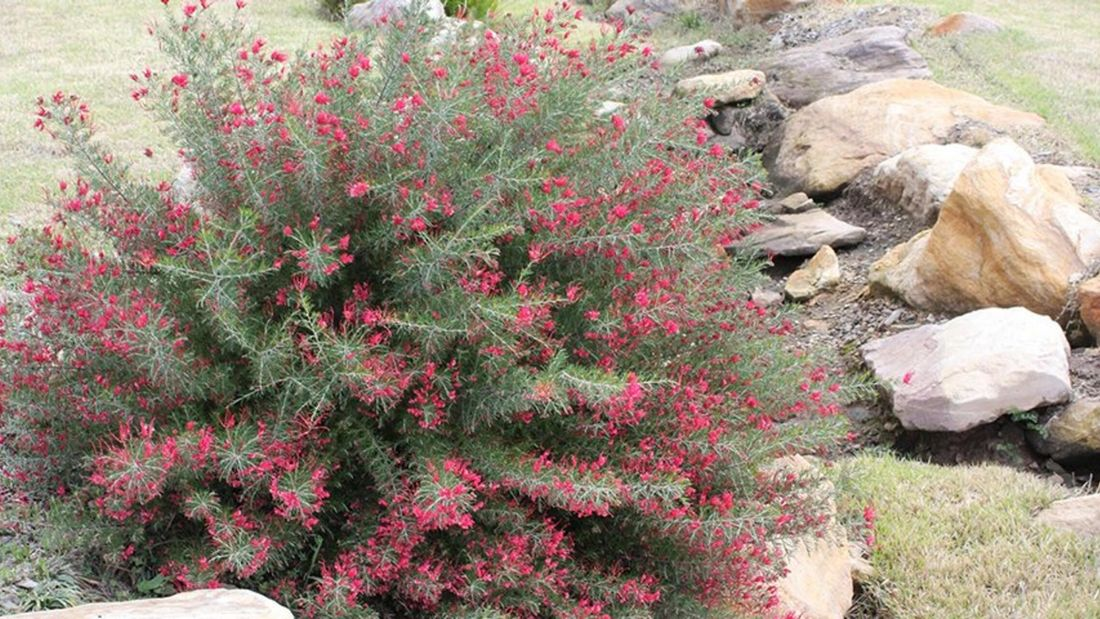 A Prostrate grevilleas plant with red flowers.