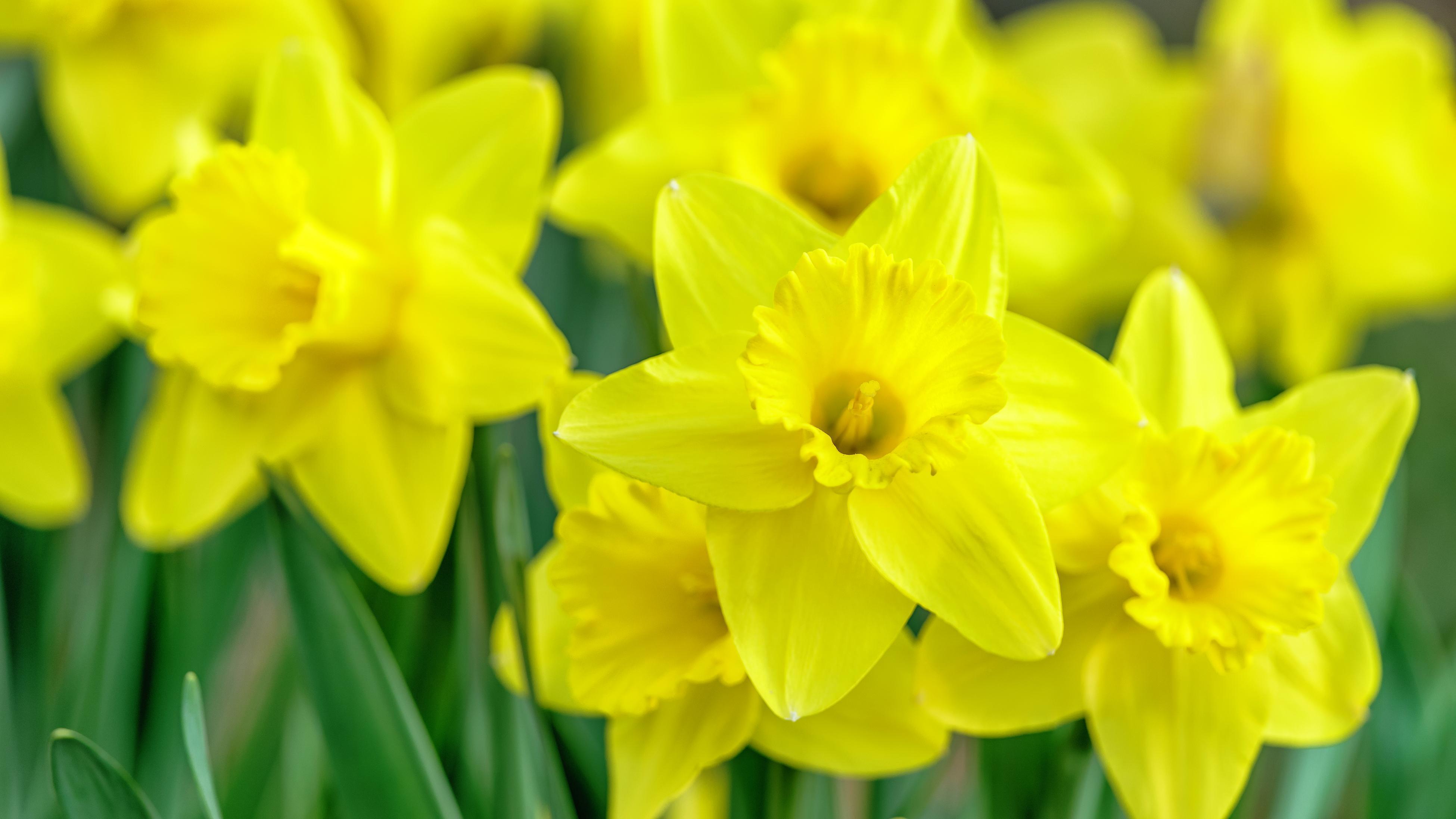 Yellow daffodil flowers