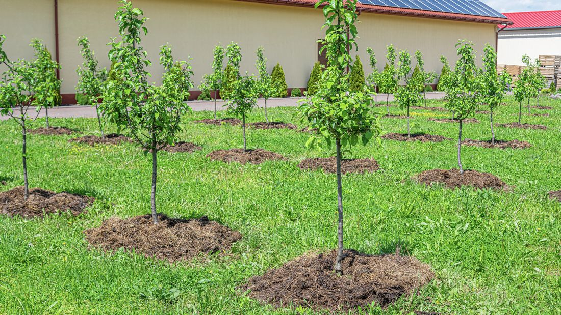 An orchard of young dwarf fruit trees