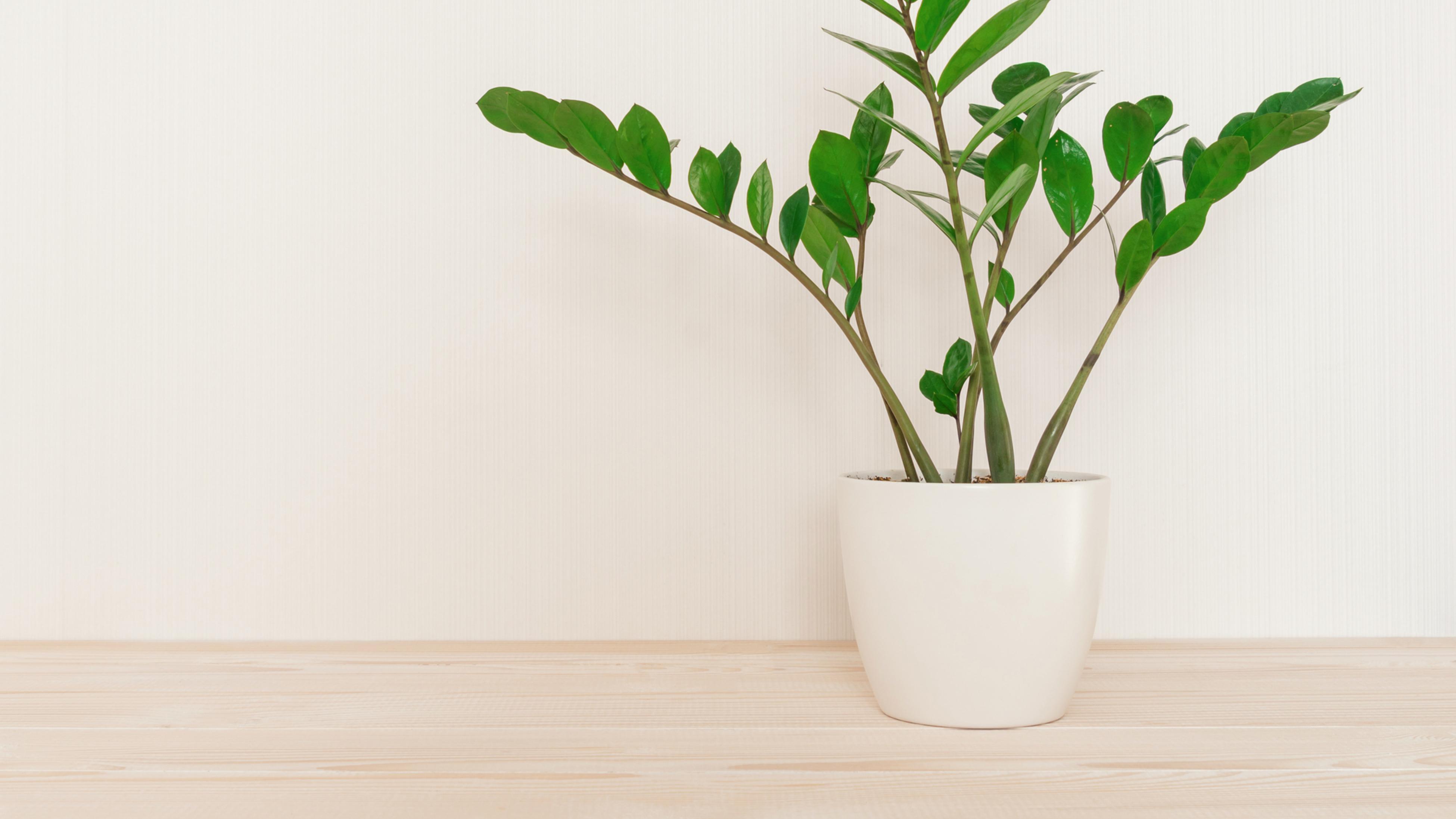 The Zamioculcas zamifolia plant in a white pot.