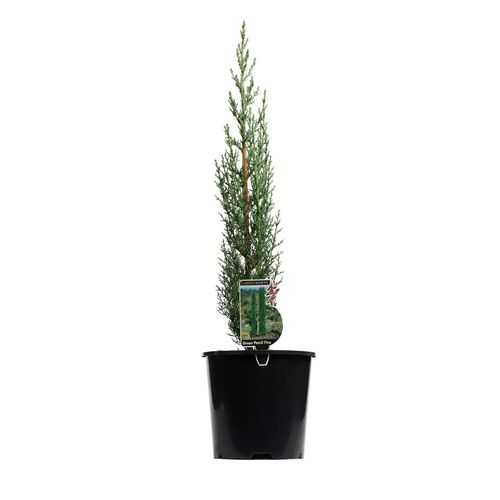 200mm Green Pencil Pine - Cupressus sempervirens Glauca