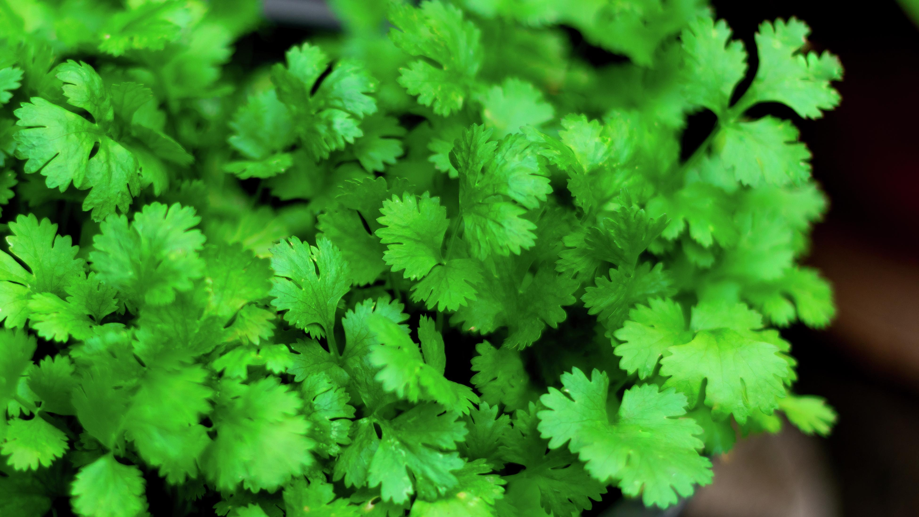 A close-up of coriander leaves