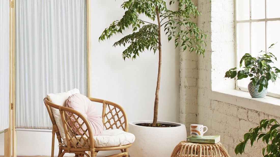 cane chair with cushions next to large indoor tree in white pot