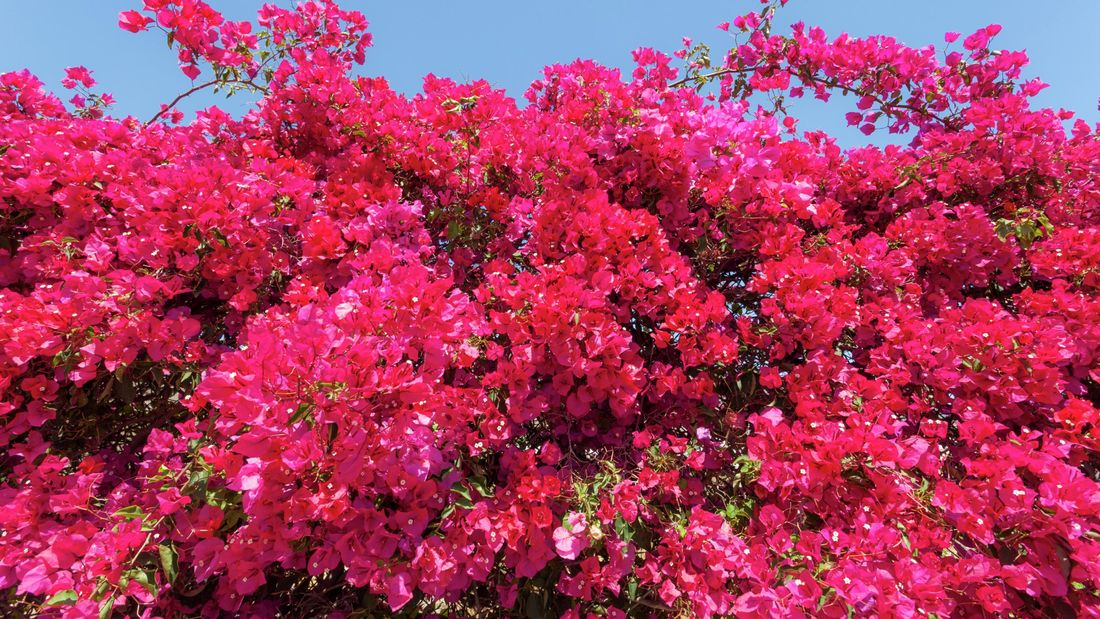 A bougainvillea plant with pink flowers.