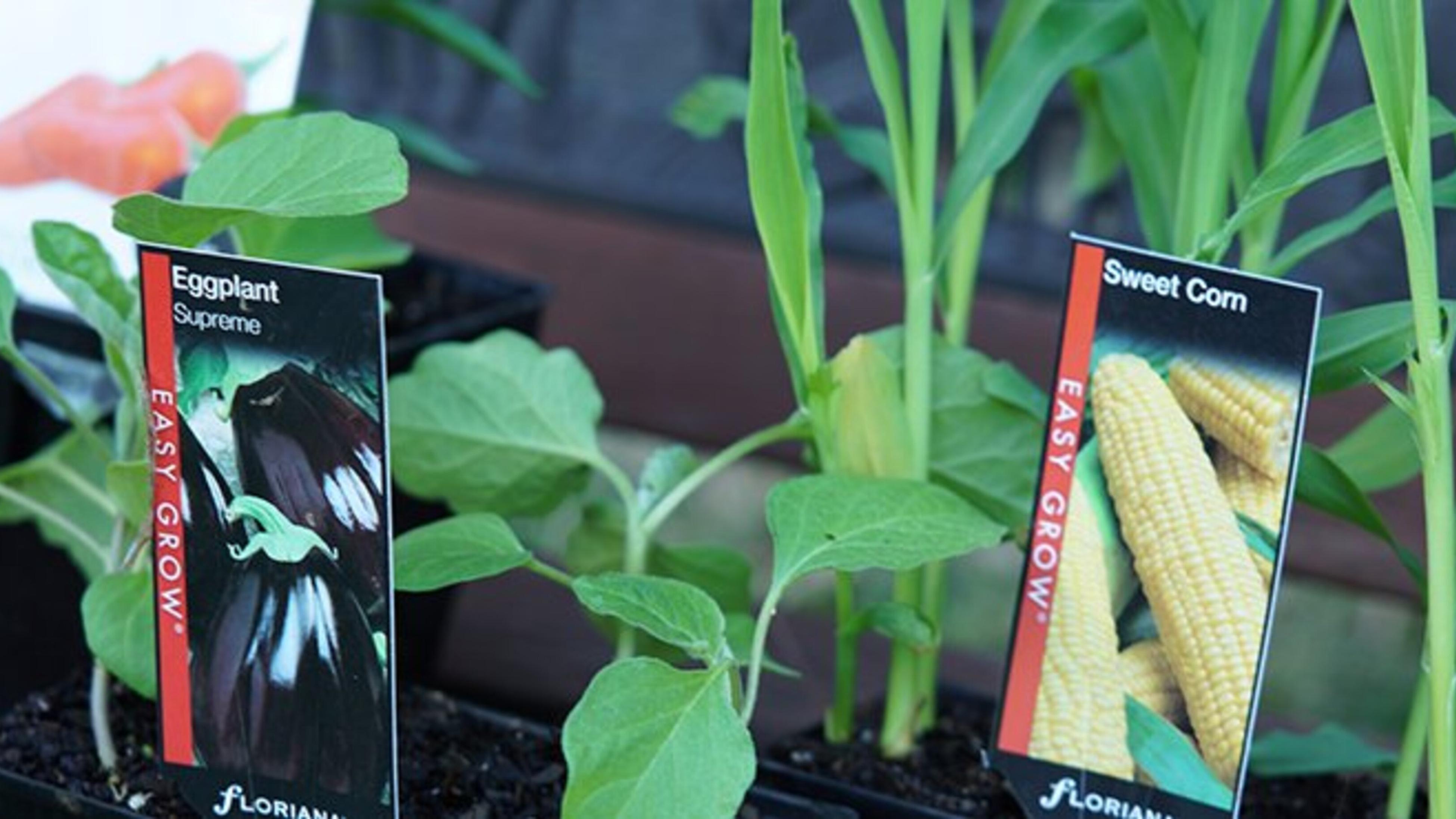 Young eggplant and sweet corn plants