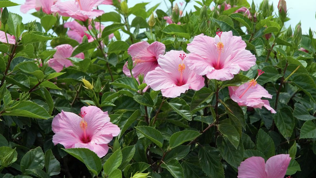 Pink hibiscus flowers outside.