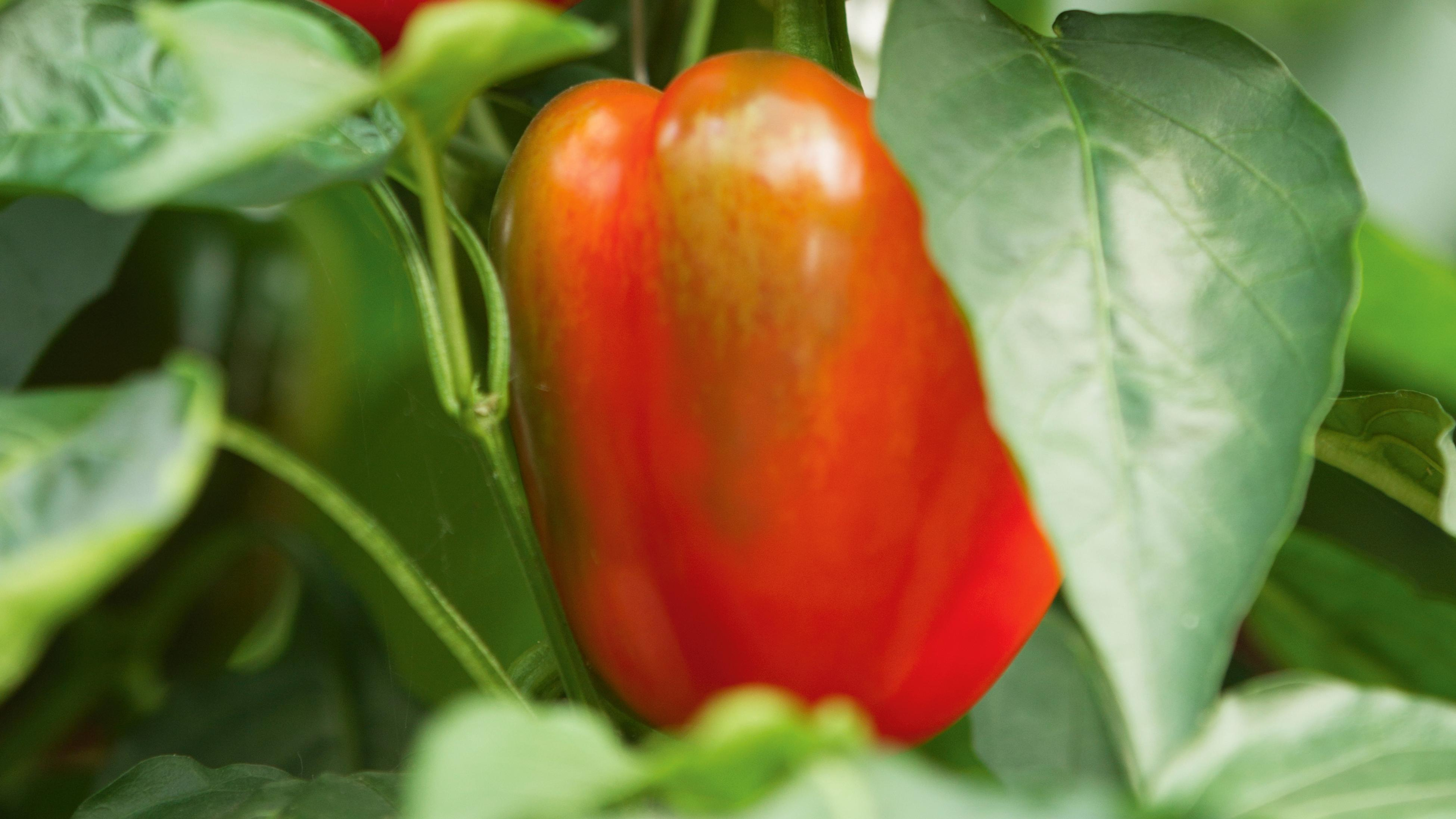 Red and green capsicum growing on a vine