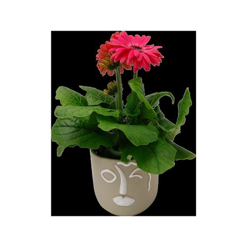 120mm Gerbera In Ceramic Pot