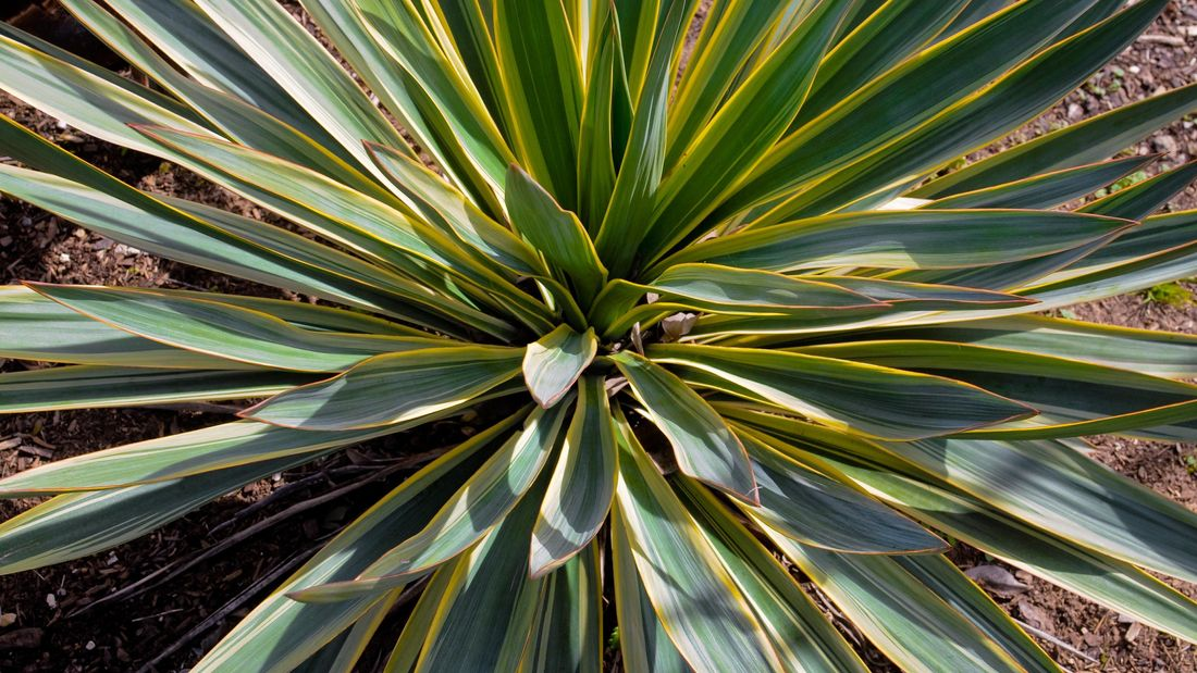 Close up of a variegated yucca.