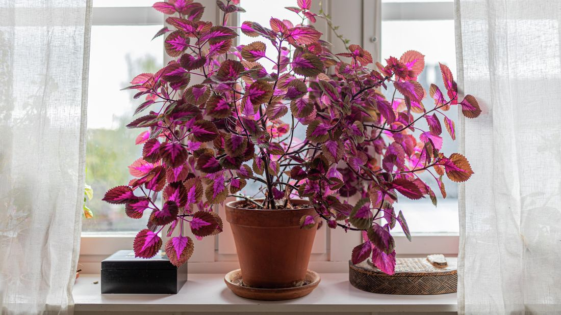 A vibrant red-pink coleus plant in a pot indoors