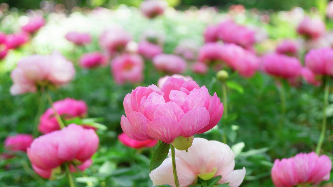 Flowering pink peonies