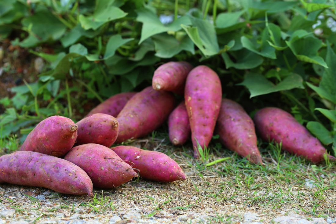 Purple sweet potatoes harvested beside the plants