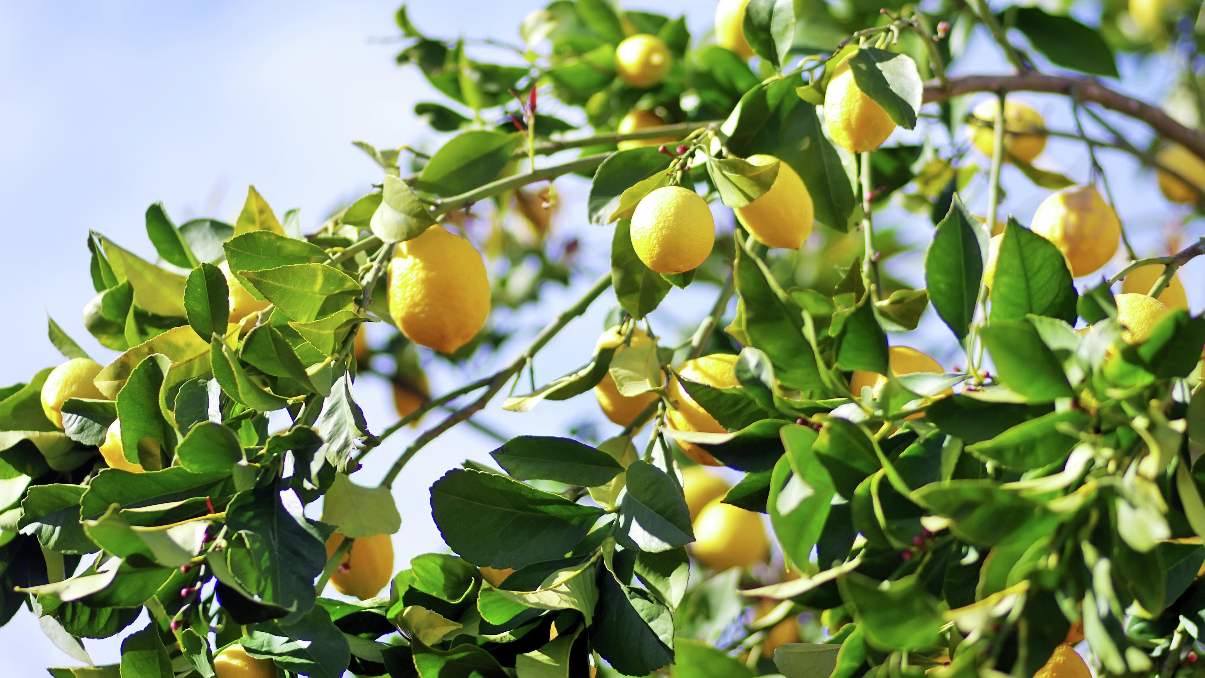 A large lemon tree with plenty of ripe lemons.