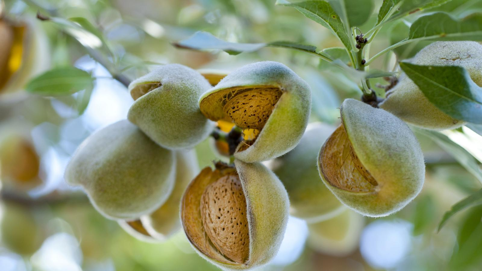 close up of almond fruit on tree