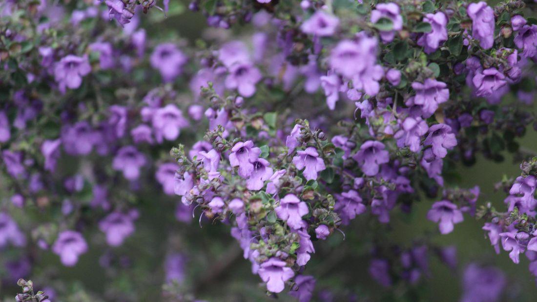Australian native oregano with a mass of purple flowers