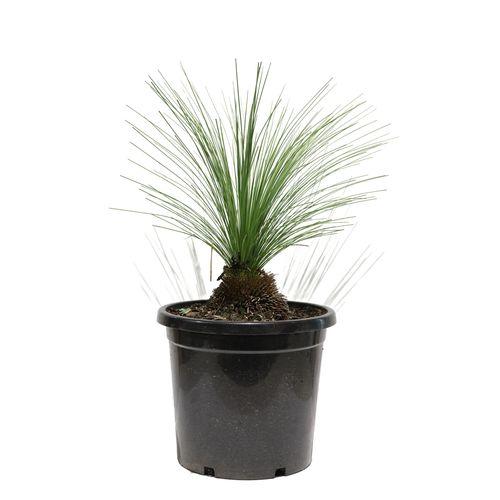 450mm Grass Tree - Xanthorrhoea
