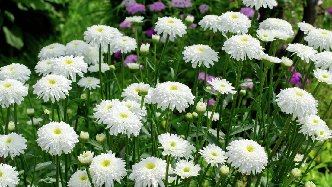 A clump of aster plants with white flowers