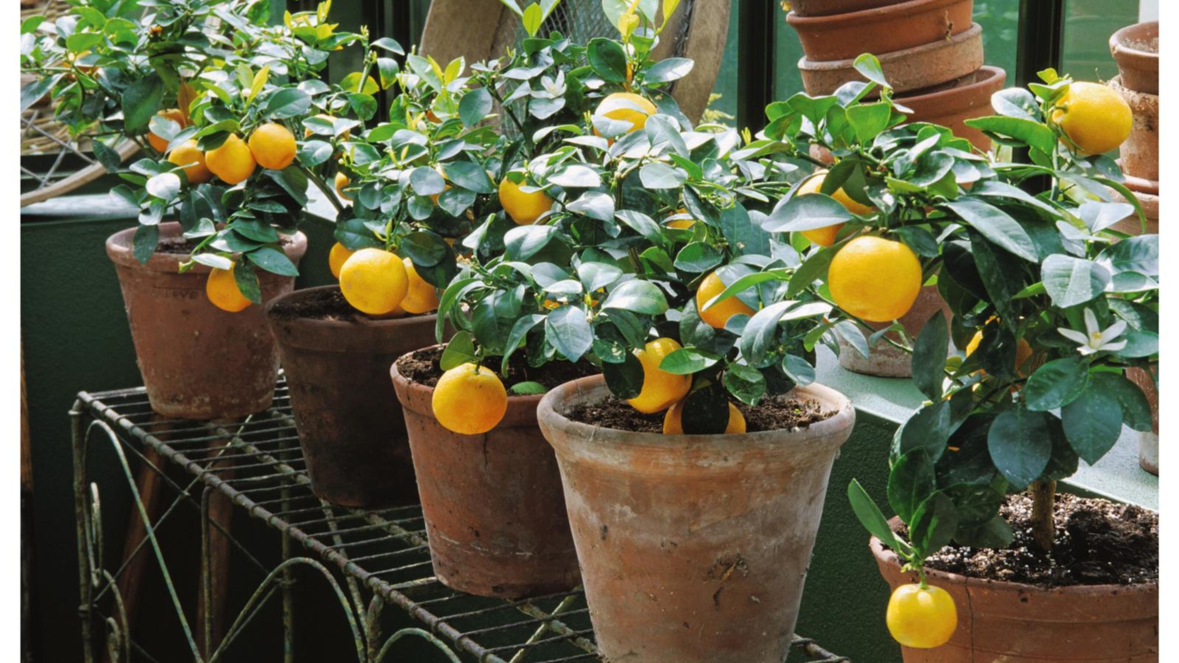 Lemon trees in pots.