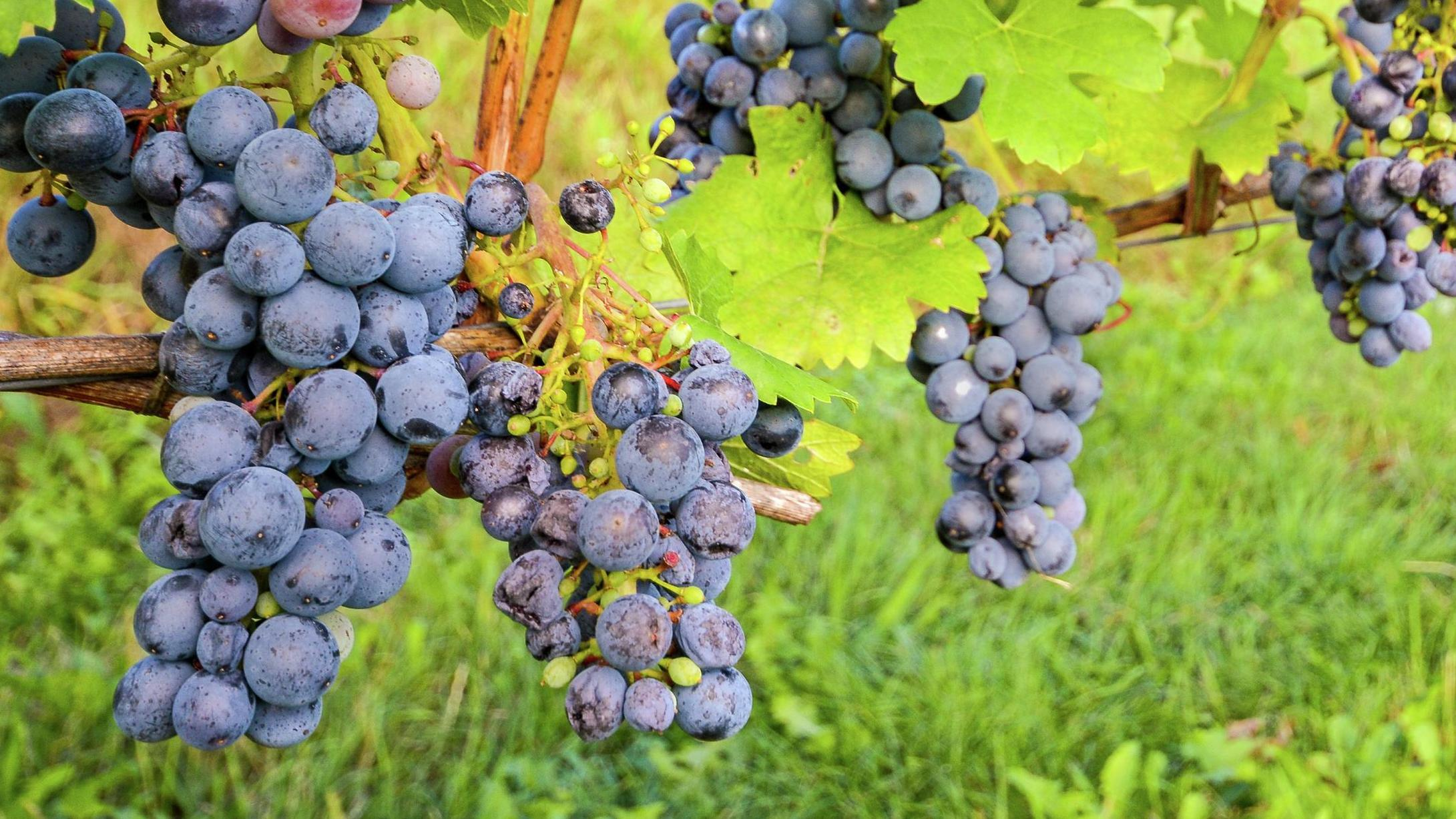 black grapes on a grape vine in the outdoors