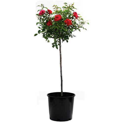 30cm Scarlet Carpet Rose - Rosa noaschnee