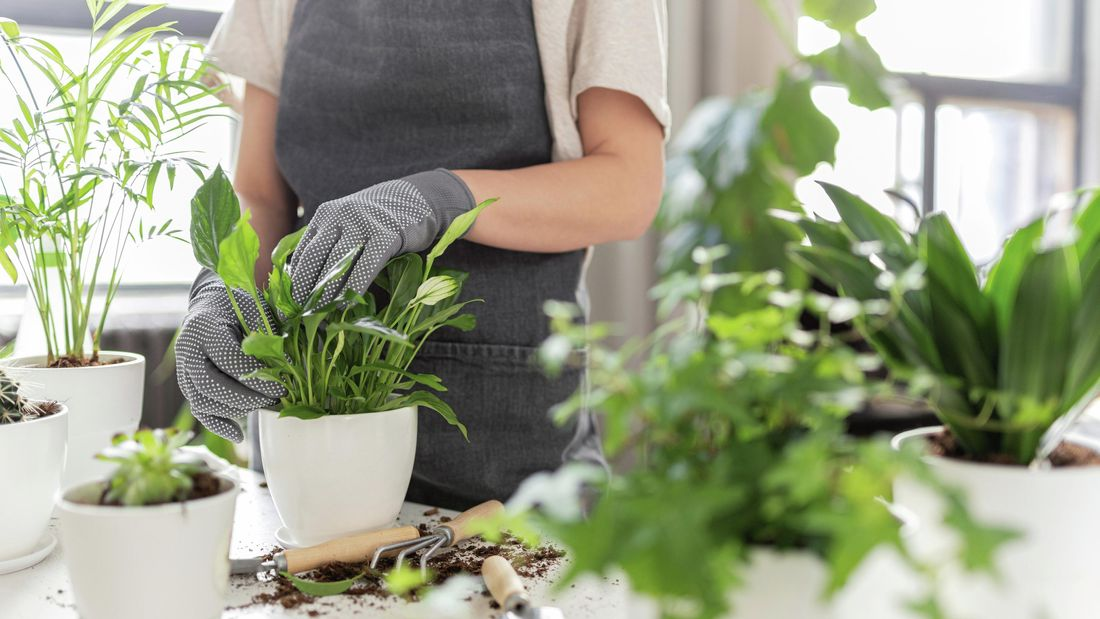 peace lily potted in white pot surrounded by other plants