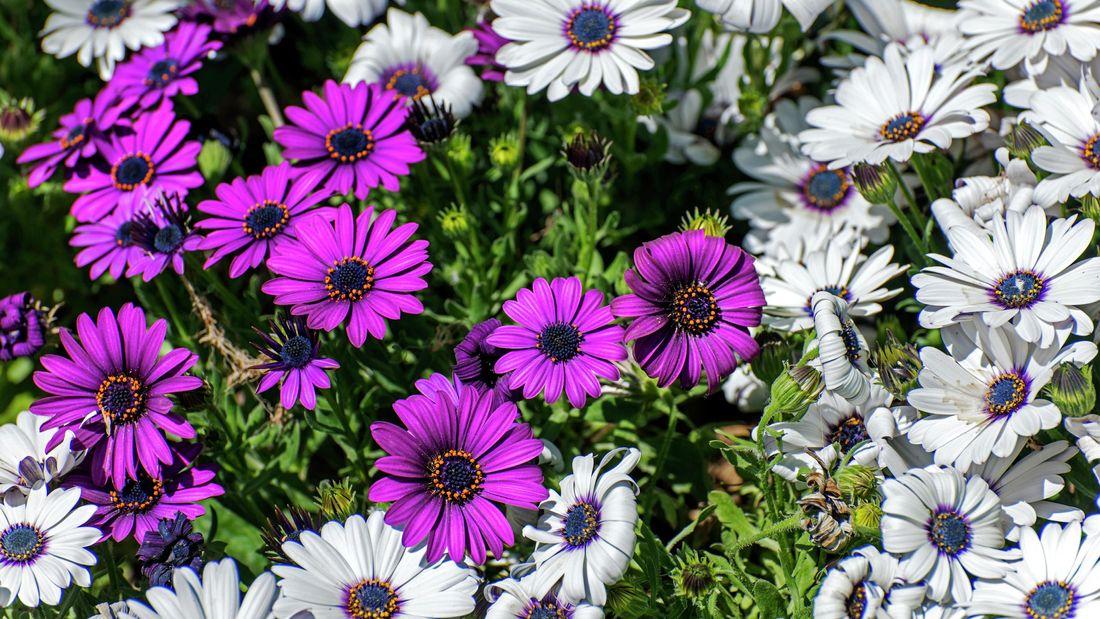 white and purple osteospermum daisies in a garden
