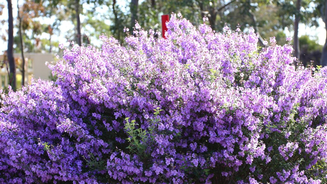 Native thyme with a mass of purple flowers