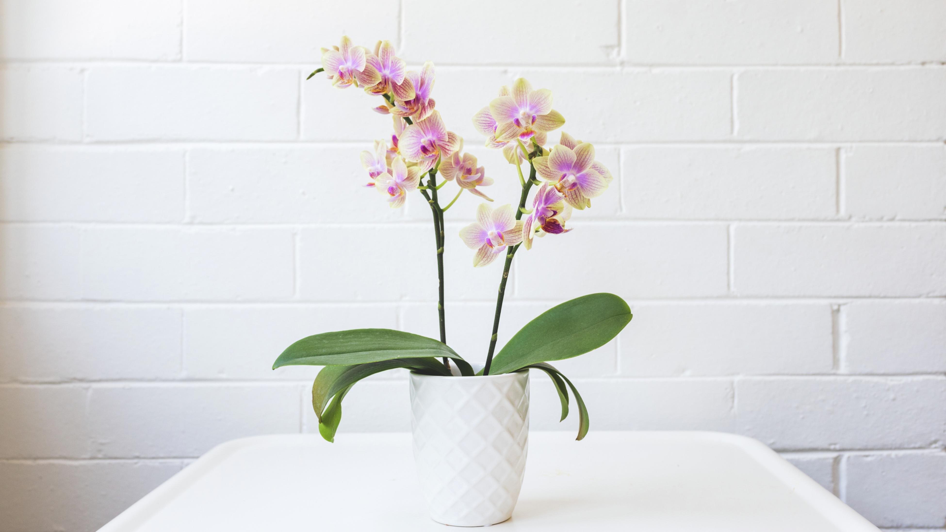 Phalaenopsis orchid (Phalaenopsis spp.)