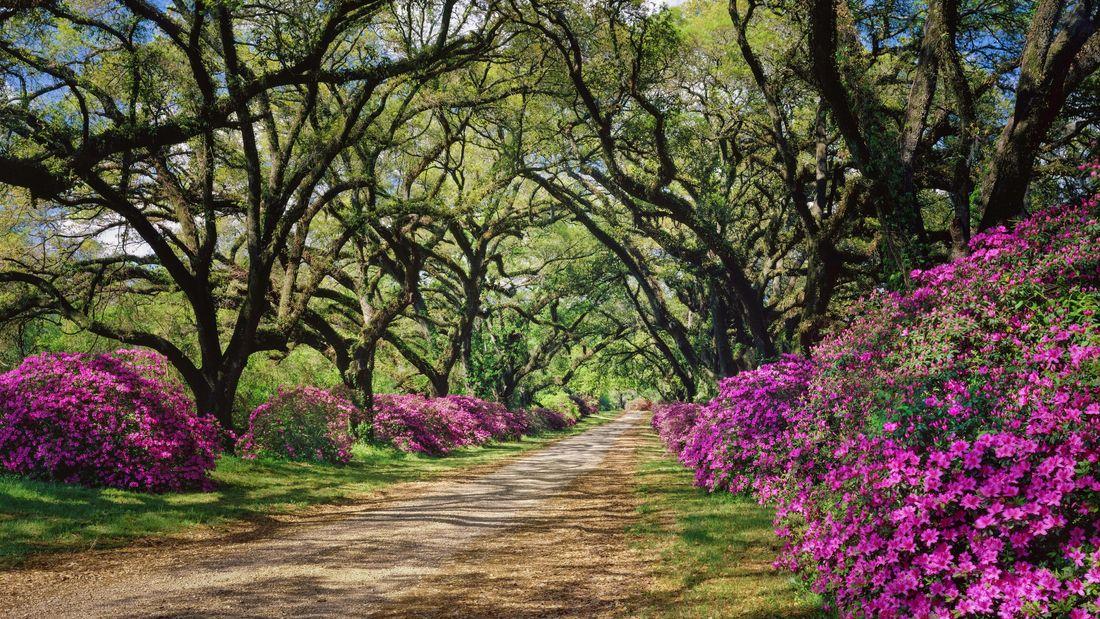 Pink flowering azaleas line the path
