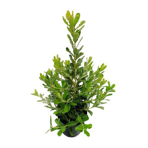 140mm Shore Thing - Banksia praemorsa 'High Noon'