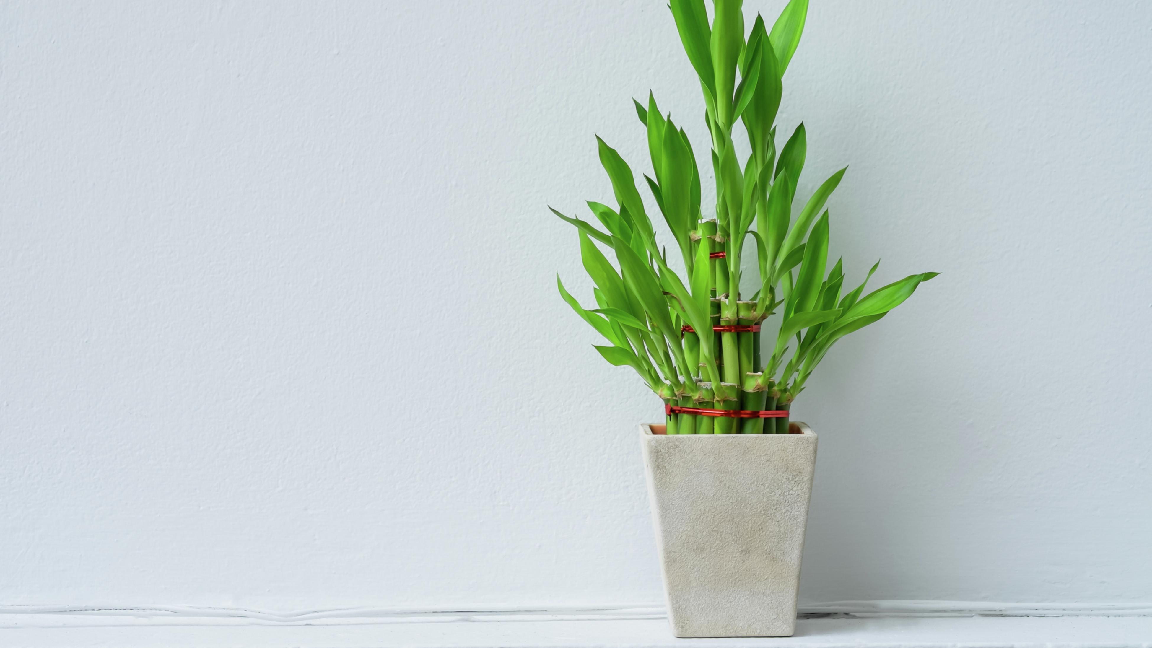 Lucky bamboo in a white pot.