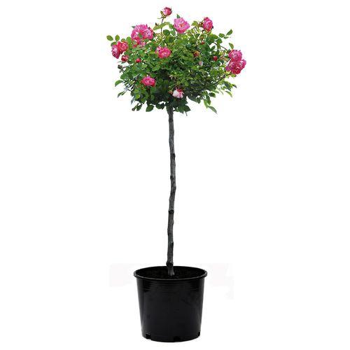 30cm Pink Splash Carpet Rose - Rosa noaschnee