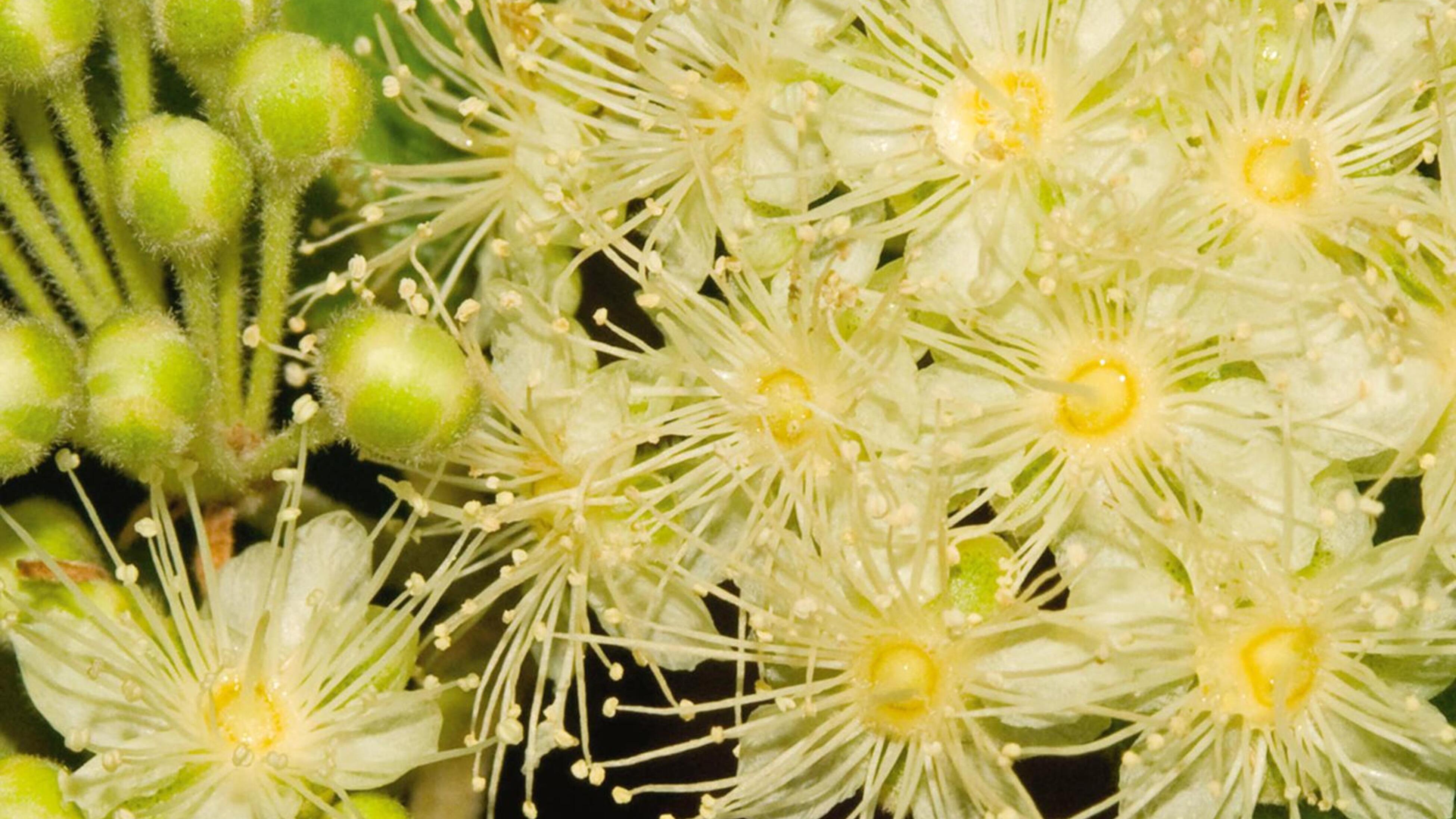 Lemon-scented myrtle