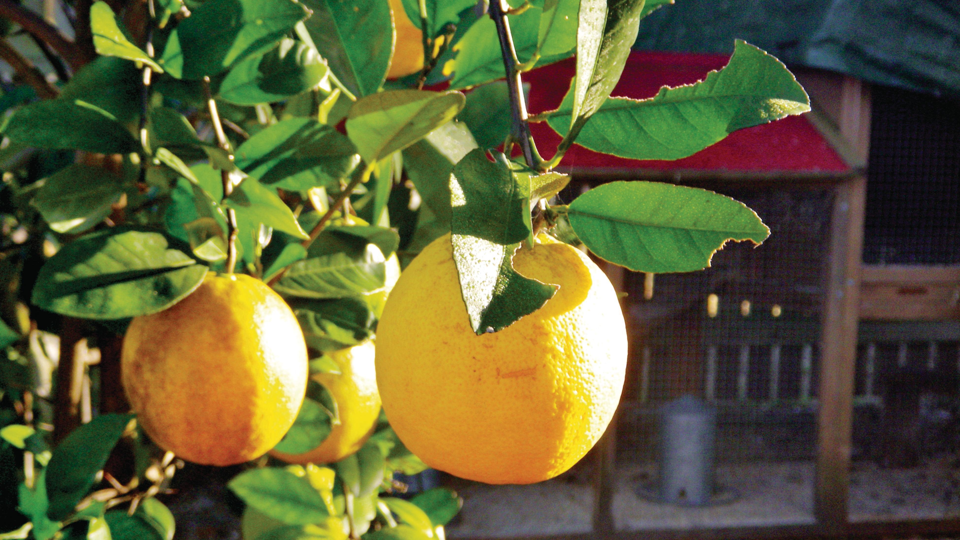 Lemons growing on a tree.