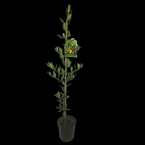 1.9L Olive Leccino - Olea europaea - Incredible edibles® Range