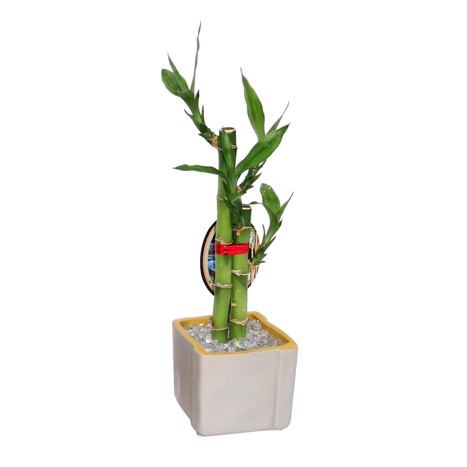 Lucky Bamboo Size C   Dracaena sanderiana   Bunnings Australia