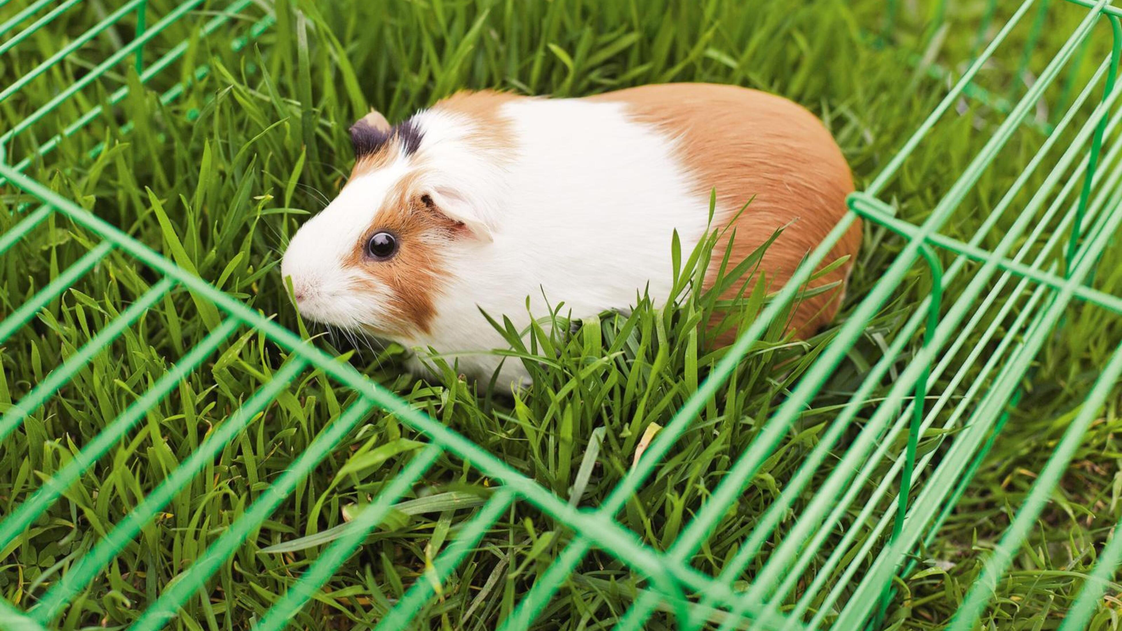 Rabbit on the lawn.